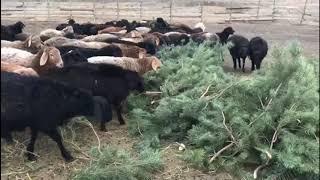Чем подкармливаю овец зимой