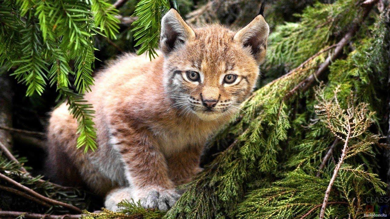 Рысь: описание животного, что ест, места обитания, сколько живут | 720x1280