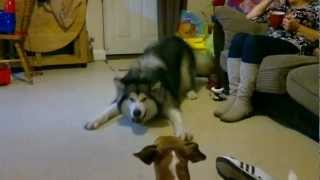 Excitable pouncing Alaskan Malamute having a moment. Funny!