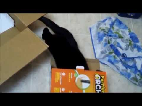 Bombay Cat Rachel And Her Perfect Arch Toy