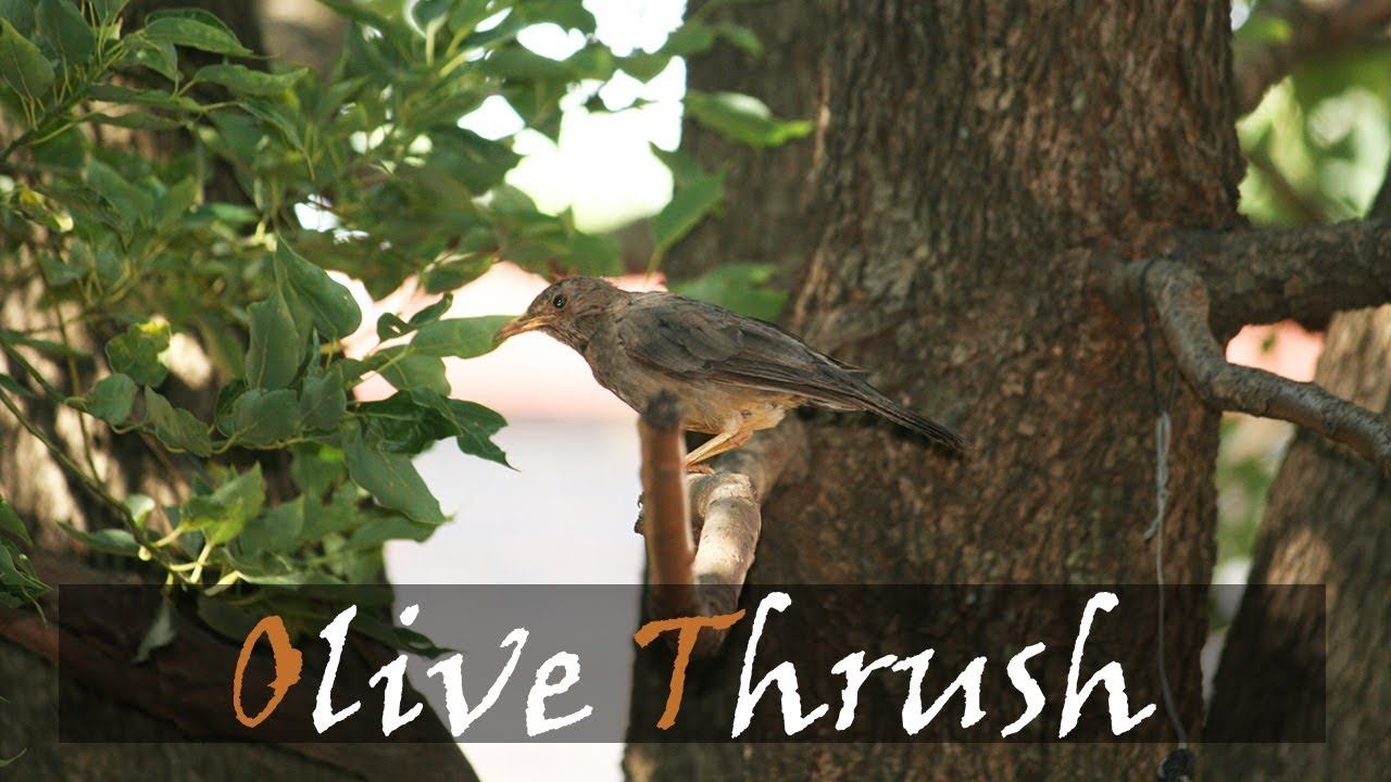 Olive Thrush Bird Call | Garden Birding | Stories Of The Kruger ...