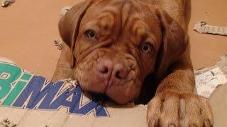 Бордоский дог. ИГРУШКИ ДЛЯ СОБАКИ.  ( Dogue de Bordeaux.Toys for dogs )