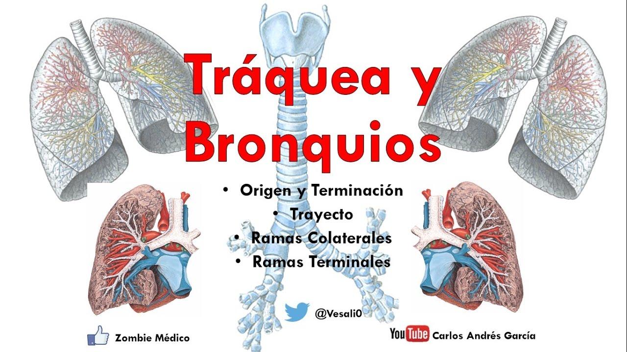 Anatomía - Tráquea y Bronquios (Árbol bronquial, Vasos y Nervios ...