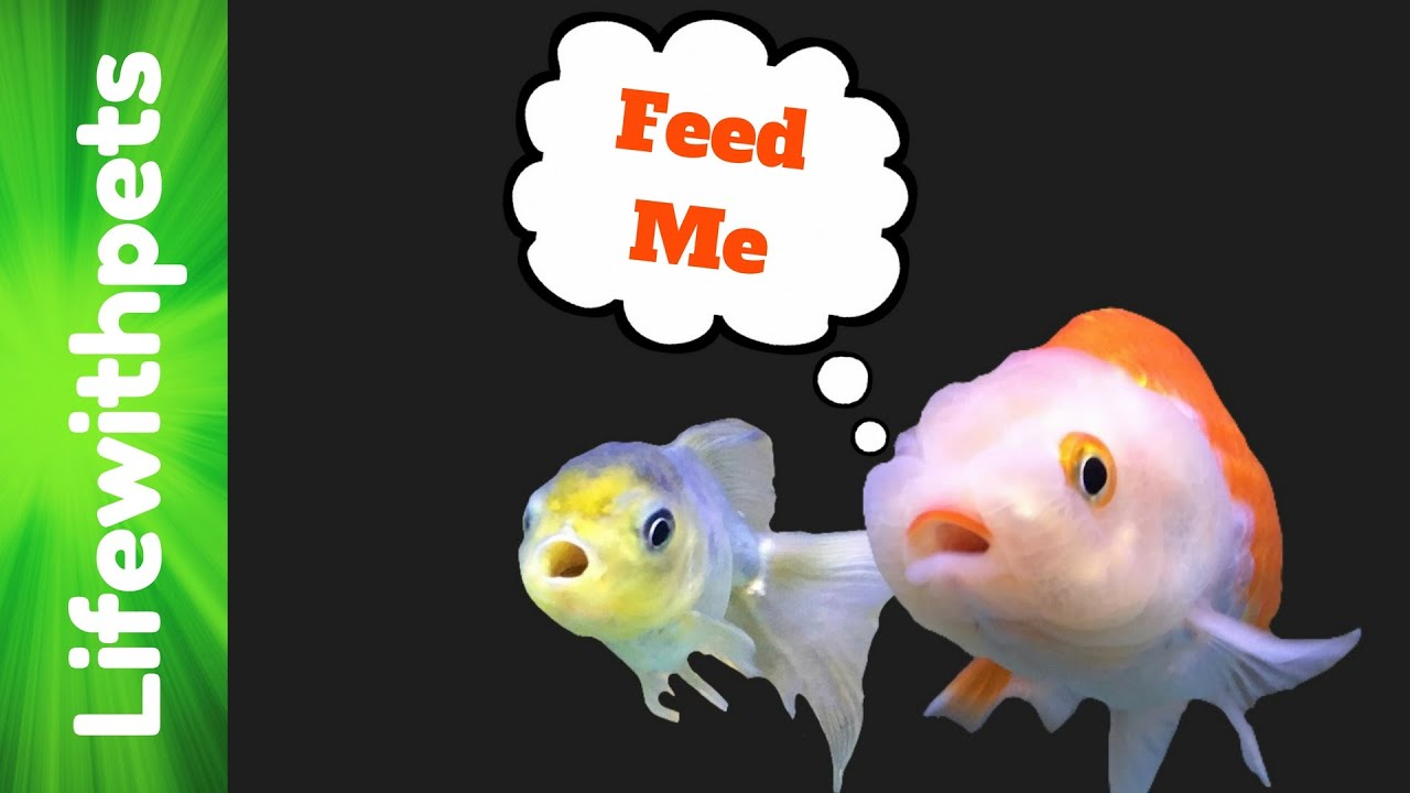 🥇 5 Best Goldfish Food for Fancy (& Single-Tailed) Fish 2019