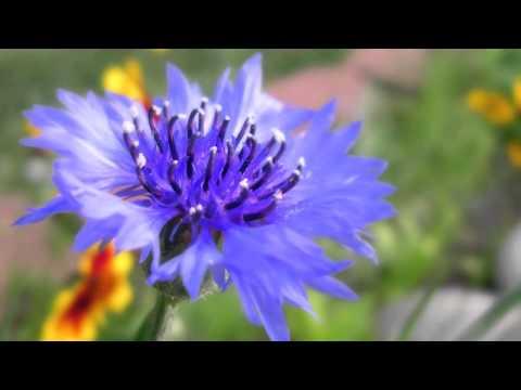 Травы при пиелонефрите: сборы, компоты, настои, отвары