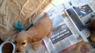 Video of our 5 english cocker spaniel puppies at 7 weeks old. We on...