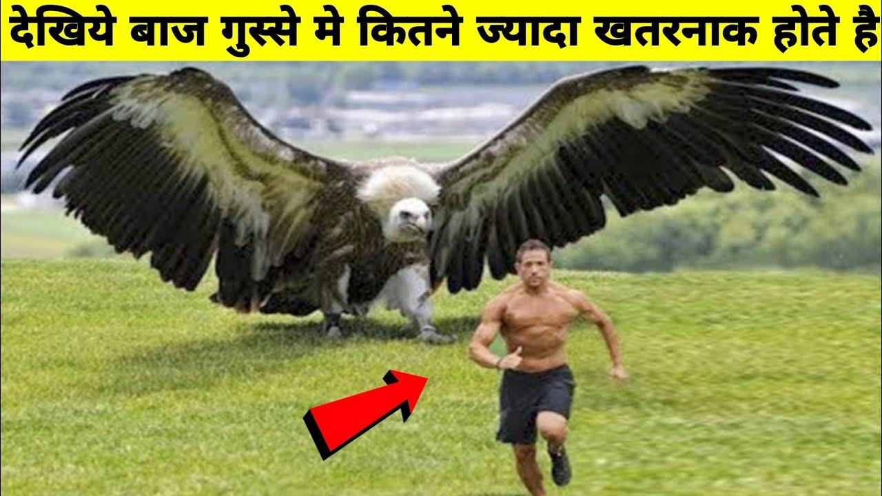 Download देखिये बाज कितने खतरनाक होते है बाजो के बारे मे रोचक जानकारी Most bizarre information about Eagle