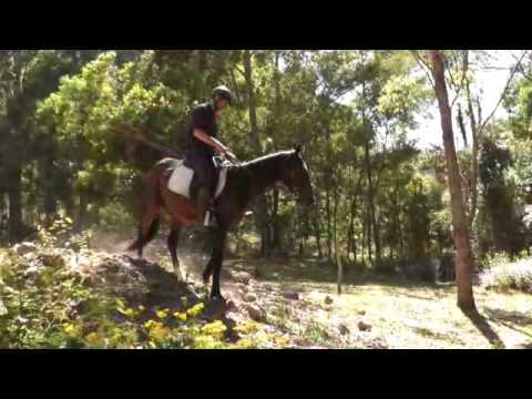 """Scotty"" Standardbred riding horse For Sale $2,500"