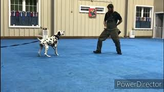 Dalmatian IGP/Schutzhund Protection Training