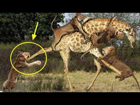 사자 vs 기린