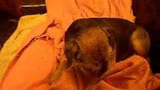 Border Terrier Cecs - Dog 6