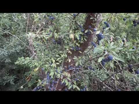 Evolucion del endrino en estado salvaje, vistazo a las endrinas, el fruto azul del bosque !!