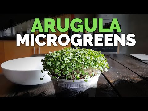 How To Grow Arugula Microgreens Fast And Easy