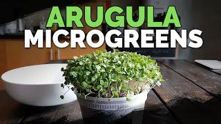 How to Grow Arugula Microgreens Fast and Easy