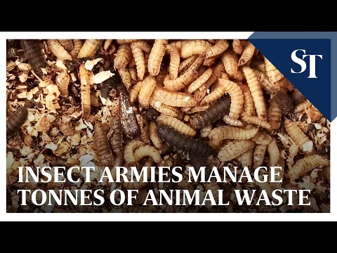 Insect armies that can manage 4,000kg of animal waste daily
