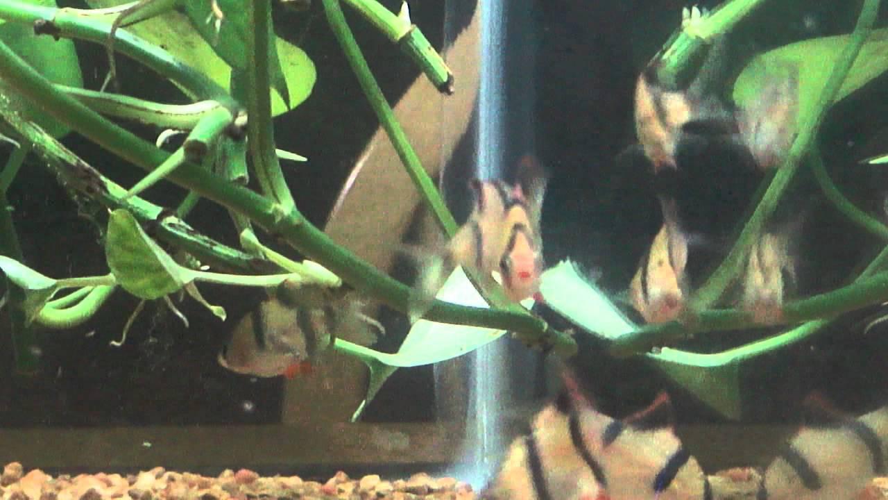 Tiger Barb fish tank / Pothos Plant Filtration - YouTube