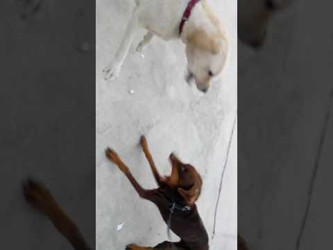must watch !!Doberman vs Labrador Agression of breeds in india
