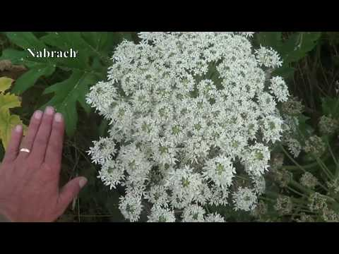 Giant Hogweed & Cowparsley The Difference