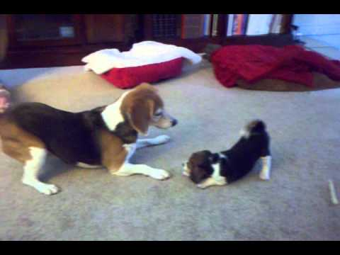 Baby Beagle (Maxwell) Playing with Older Beagle (Heidi)