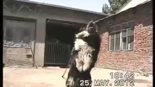 tibetan mastiff angry 2