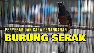 Inilah Penyebab Dan Cara Penanganan Burung Serak