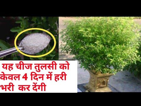 इसे एक चम्मच तुलसी के पौधे में डालने से एक ही बार में पौधा हरा भरा और घना हो जायेगा