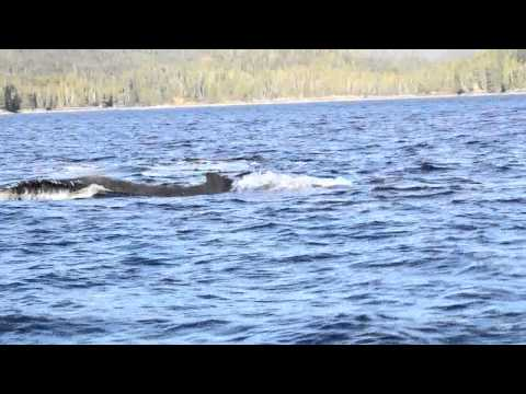 Humpback whales charge