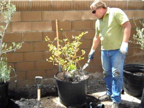 Container Gardening Blueberry Plant Rescue avi
