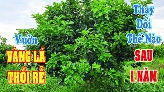 Vườn Bưởi Da Xanh Vàng Lá Thối Rễ Thay Đổi Thế Nào sau 1 Năm   Nông Nghiệp Xanh
