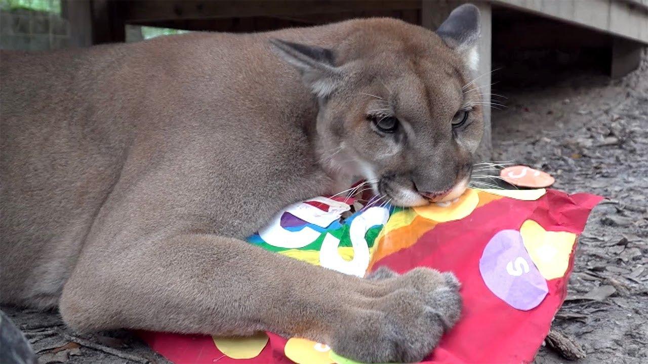 Cougar Makes A BIG Mess! - YouTube