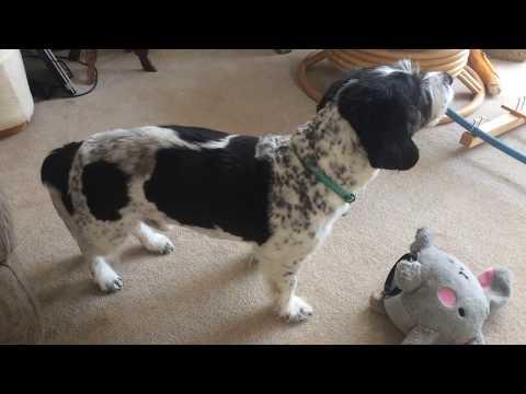 Pets Got Talent  Chudleigh