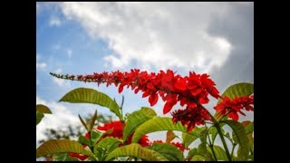 National Symbols of T&T - The National Flower