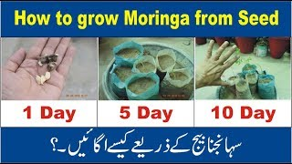 How to Grow Moringa from Seeds | Nukta Guidance