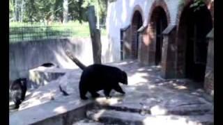 Bear moonwalking