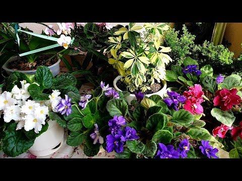 Что с  комнатными цветами без меня. Фиалки расцвели, орхидеи и  др..