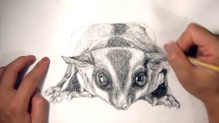 Franfranmaster Speed drawing Animal Portrait 06 - Sugar Glider (Momo)