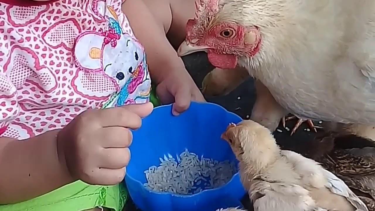 Cara ternak ayam kampung - YouTube