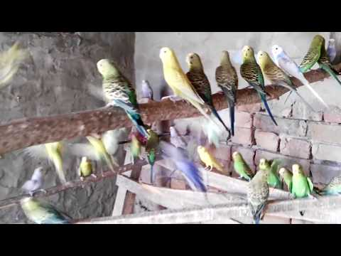 Australian fancy parrot & best breeding cage by wasif thumbnail