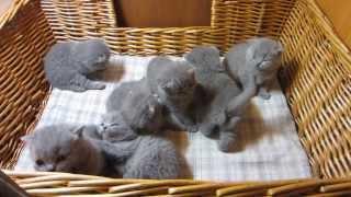Видео британских котят. Трехнедельные британские котята.
