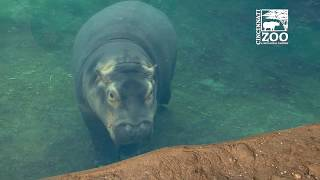 Baby Hippo Fiona Gets Time Outside During Warm January Day - Cincinnati Zoo