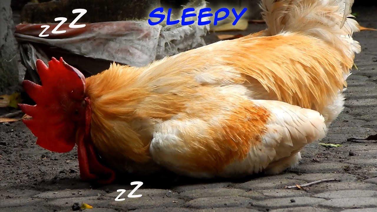 куры спят картинки там часто