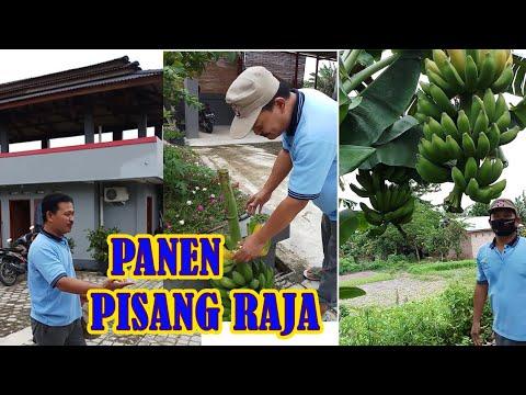 panen-pisang-raja,-hasil-menanam-8-bulan