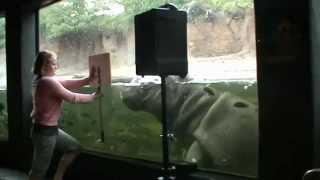 Training Hippos at San Antonio Zoo, TX