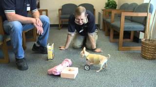 Two-legged dog getting her wheels
