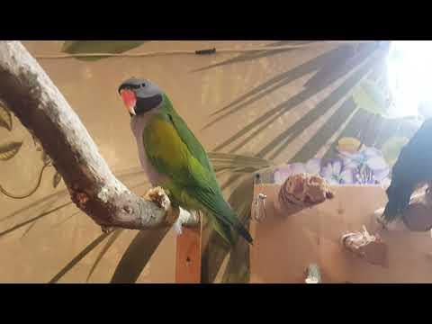 Видео: Попугаи на прогулке