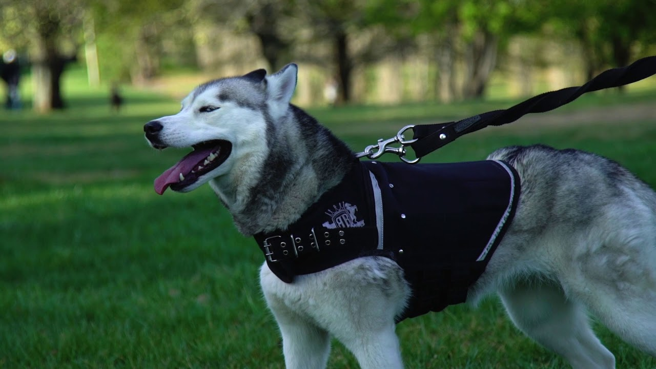 weight harness for dog