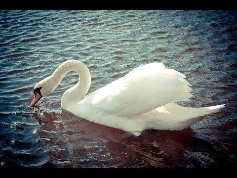 скачать песню белый лебедь лесоповал