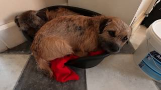 Is your Border Terrier ready to mate? Here's how to tell