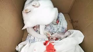 Turkish angora cat giving a birth #cat#