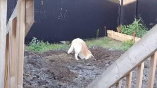 Bouba la pépinne creuse un immense trou dans le jardin thumbnail